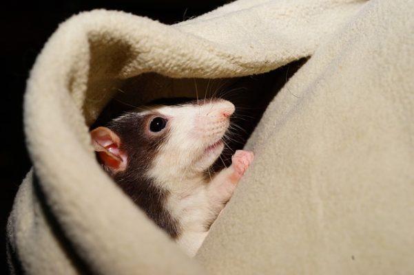 Les Rats Aiment Se Cacher Dans Les Pulls