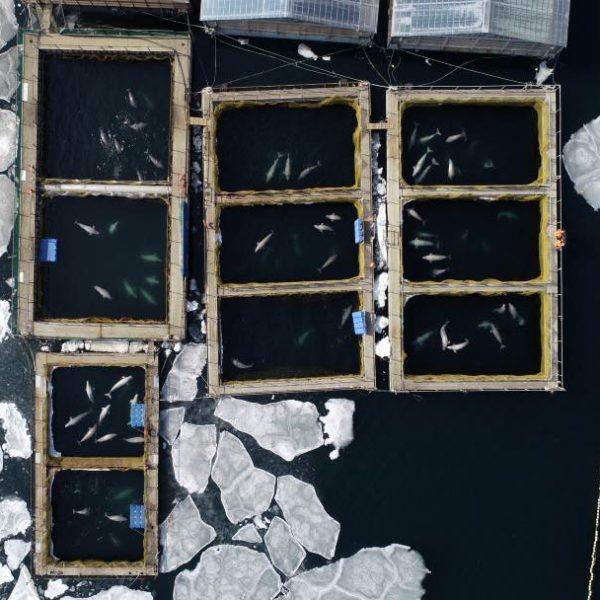 Liberation Des Orques Et Belugas En Russie