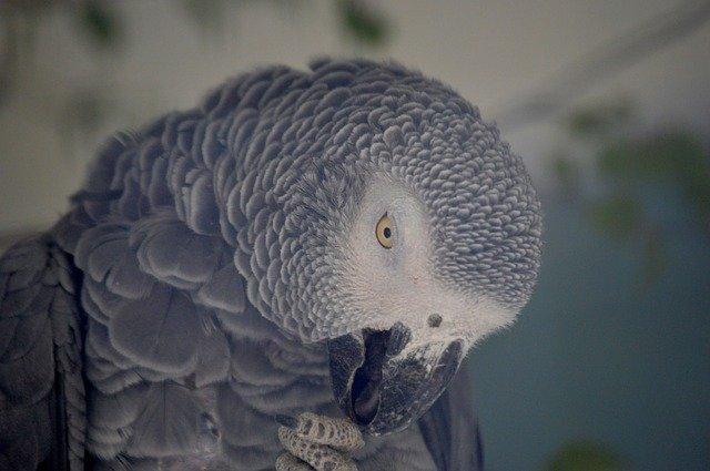 Nouvelle Loi Pour Les Proprietaires De Perroquets Gris Du Gabon