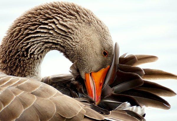 Proteger Les Oies De La Prolongation De La Chasse